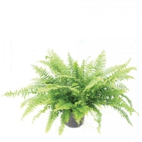 Green lady fern